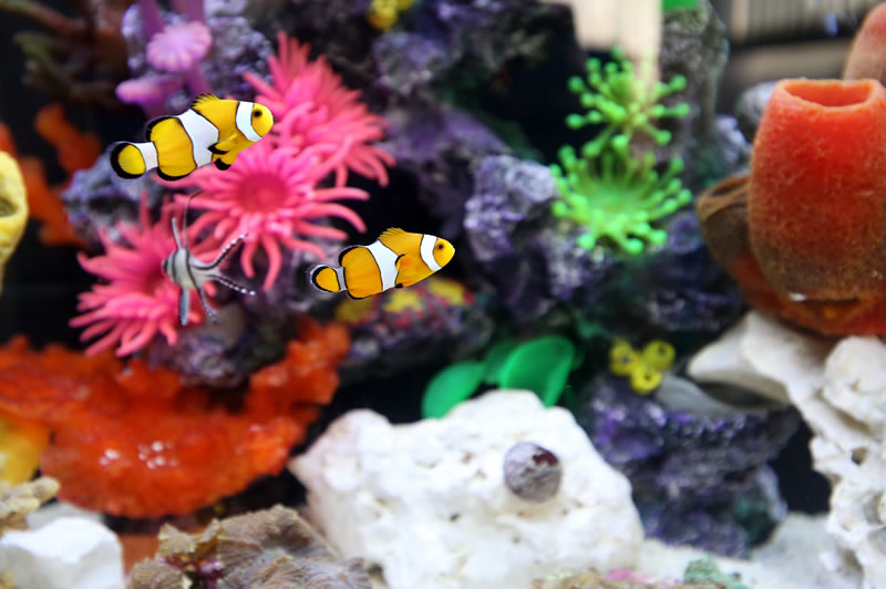 Happy Habitats Marine Reef Project - Clown Fish